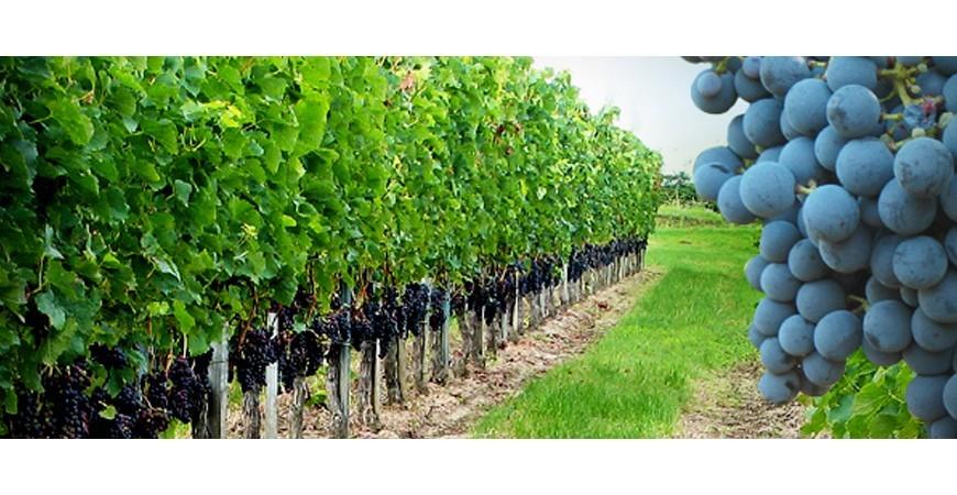 Vines: types and origins
